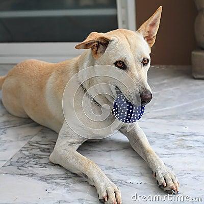 Adorable dog holding blue ball
