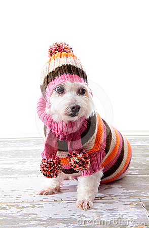 Free Adorable Dog Wearing Winter Sweater Stock Photography - 24414652