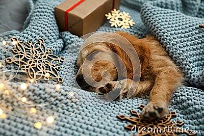 Adorable English Cocker Spaniel puppy sleeping near Christmas decorations on knitted blanket. Winter season Stock Photo