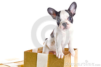 Adorable French bulldog puppy in the gift box