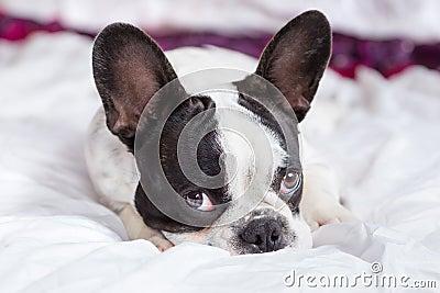 Adorable French bulldog puppy