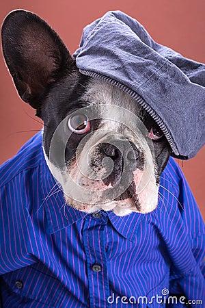 Adorable french bulldog wearing blue shirt