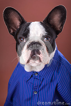 Adorable french bulldog wearing blue shirt