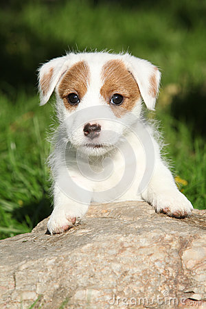 Adorable jack russell terrier puppy on stone