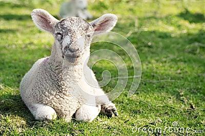 Adorable lamb