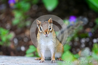 Adorable little chipmunk