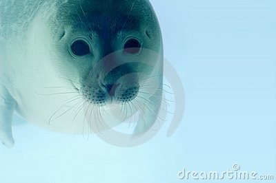 Adorable little seal swimming under water