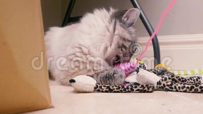 Adorable Maine Coon Kitten Plays with Cat Toys stock footage