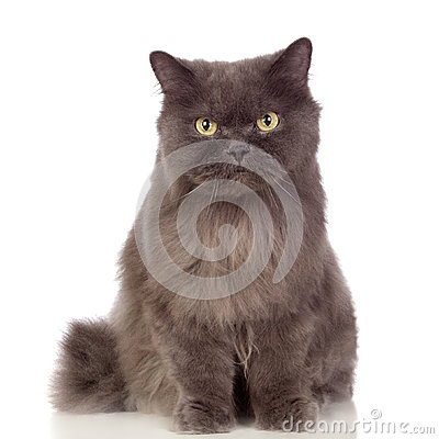 Free Adorable Persian Cat  Stock Photography - 27596772