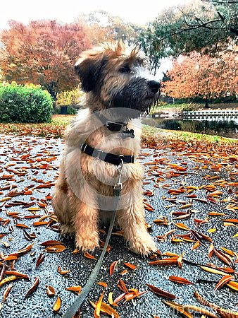 Free Adorable Puppy Dog And Autumn Leaves Stock Image - 132365921