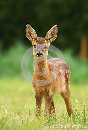 Free Adorable Roe Deer Fawn Royalty Free Stock Photo - 97072175