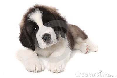 Adorable Saint Bernard Puppy Lying Down