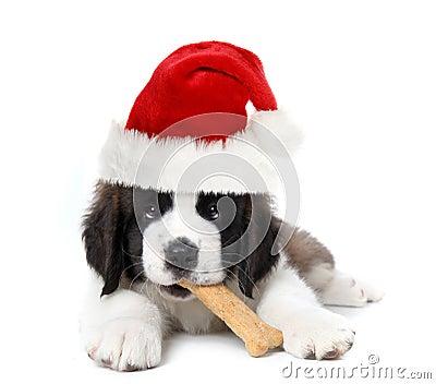 Adorable Santa Clause Saint Bernard Puppy