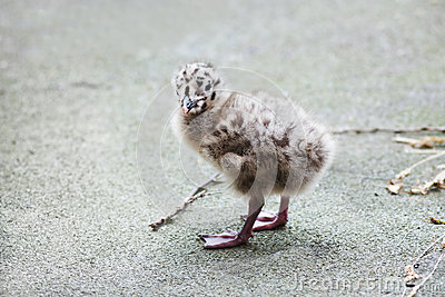 Adorable seagull baby walking