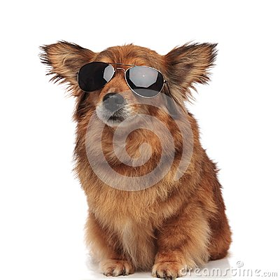 Free Adorable Seated Brown Dog With Funny Ears And Sunglasses Royalty Free Stock Image - 114467116