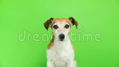 Adorable small dog looking to the cam. Video footage. Green chroma key background. Lovely pet stock footage