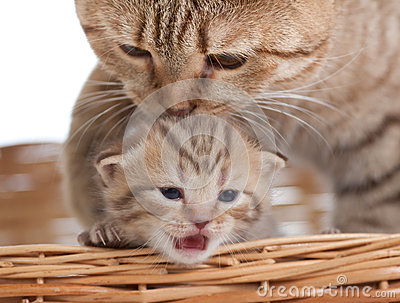 Adorable Small Kitten With Mother Cat In Basket Royalty Free Stock Image - Image: 25377546