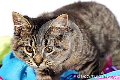 Adorable tabby kitten