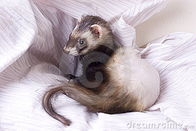 Adrenal Disease Ferret