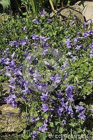 Adria Bellflower - Campanula portenschlagiana
