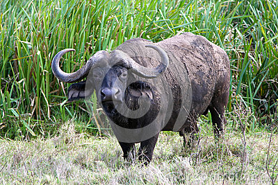 Adult African buffalo staring