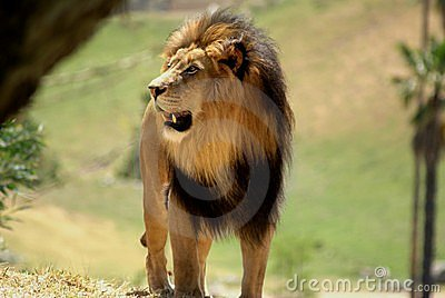Adult African Male Lion