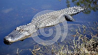 Adult American Alligator Stalking in Water