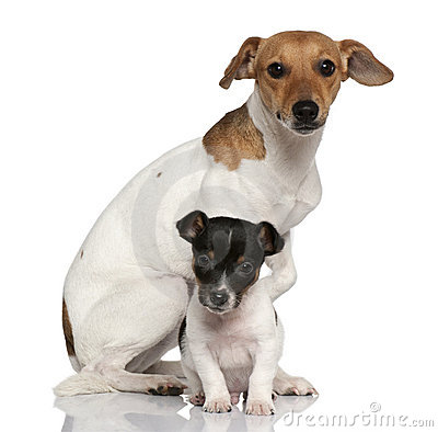 Free Adult And Puppy Jack Russell Terrier Sitting Royalty Free Stock Image - 15358896