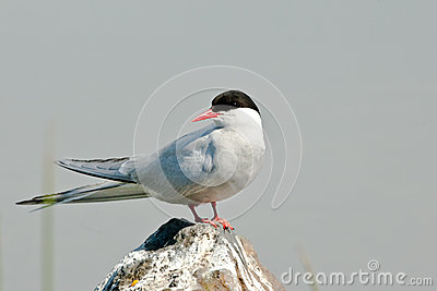 Adult Arctic Tern