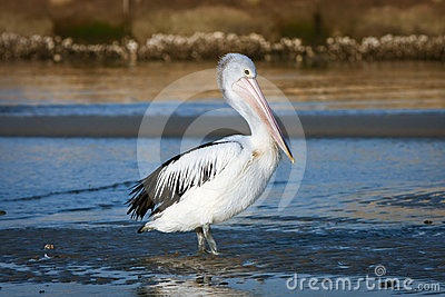 Adult Australian pelican bird in sun