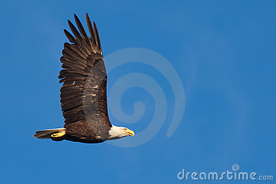 Adult bald eagle soaring