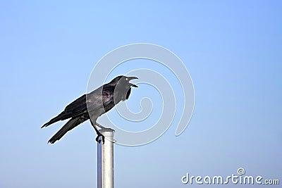 Adult black crow calling loud