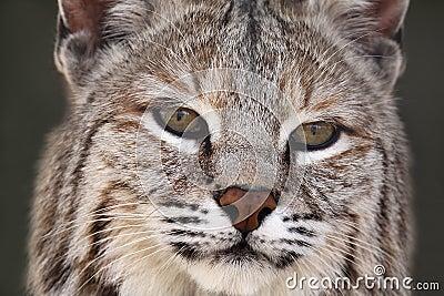 Adult Bobcat