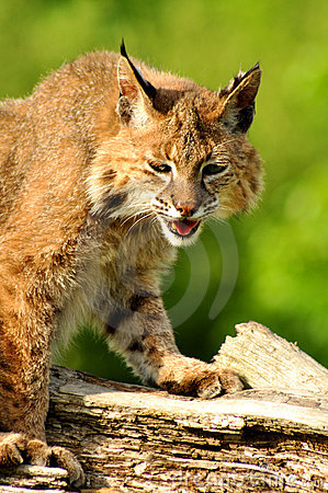 Adult bobcat sitting on log.