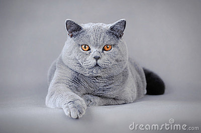 Adult British shorthair cat
