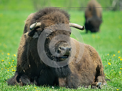 Adult buffalo resting on grass
