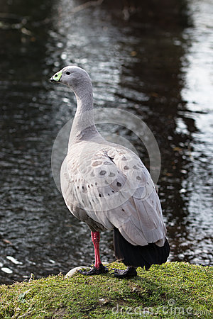 Free Adult Cape Barren Goose At The Edge Of Water Stock Photo - 57086680