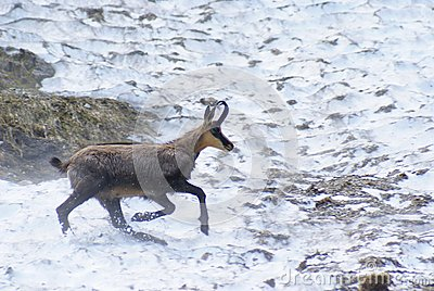 Adult chamois on snow field