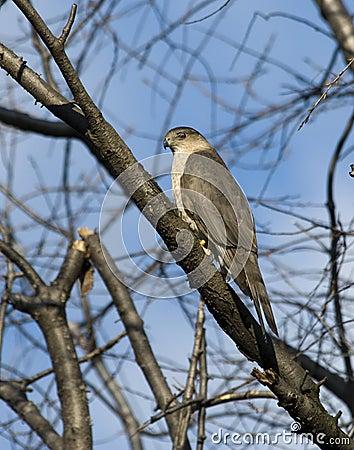 Adult Cooper s Hawk
