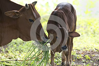 Adult Cow With Baby Calf Royalty Free Stock Photography - Image: 24859097