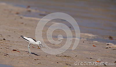 Adult Crab-Plover with prey
