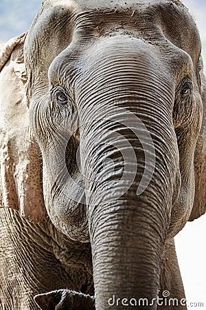 Adult elephant face.