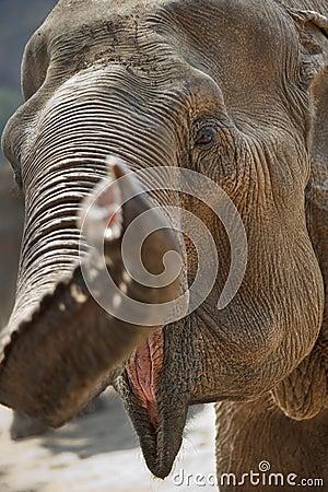Adult elephant head.