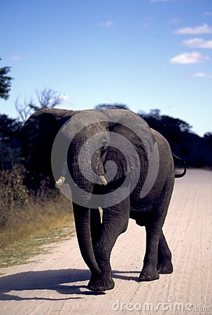Adult elephant on road