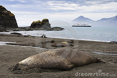 Adult Elephant Seal in South Georgia