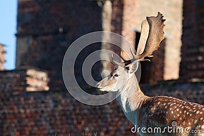 Adult Fallow Deer Buck