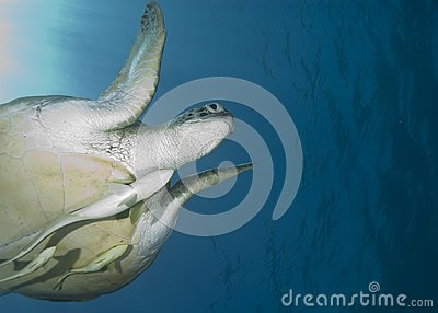 Adult female Green turtle , swimming.