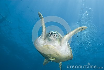 Adult female Green turtle swimming, frontal view.