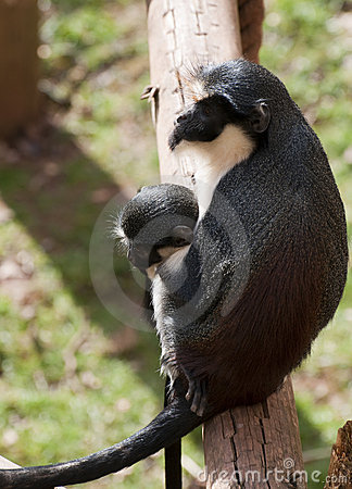 Adult female Monkey with baby