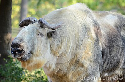 Adult female takin